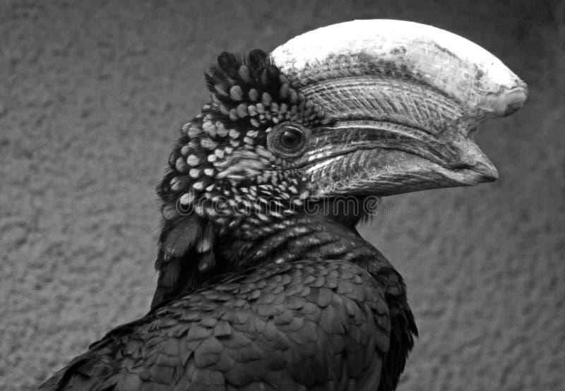 Hornbill de prata do mordente imagem de stock