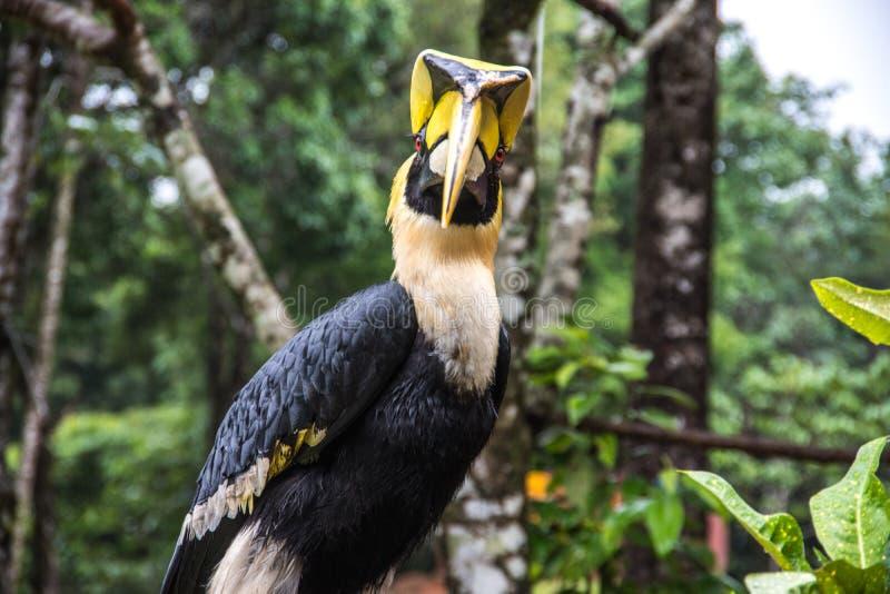 Hornbill in de wildernis stock fotografie