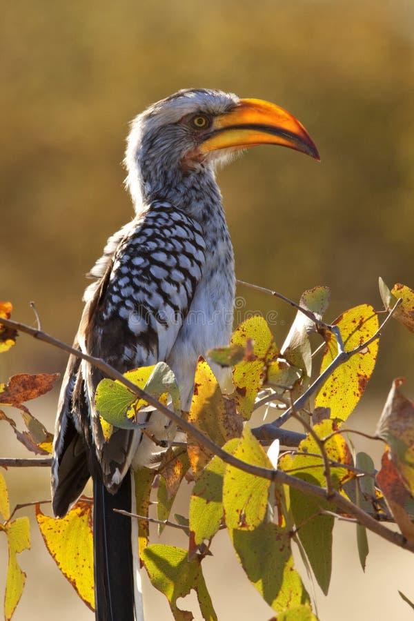 Hornbill de Yellowbilled fotografia de stock