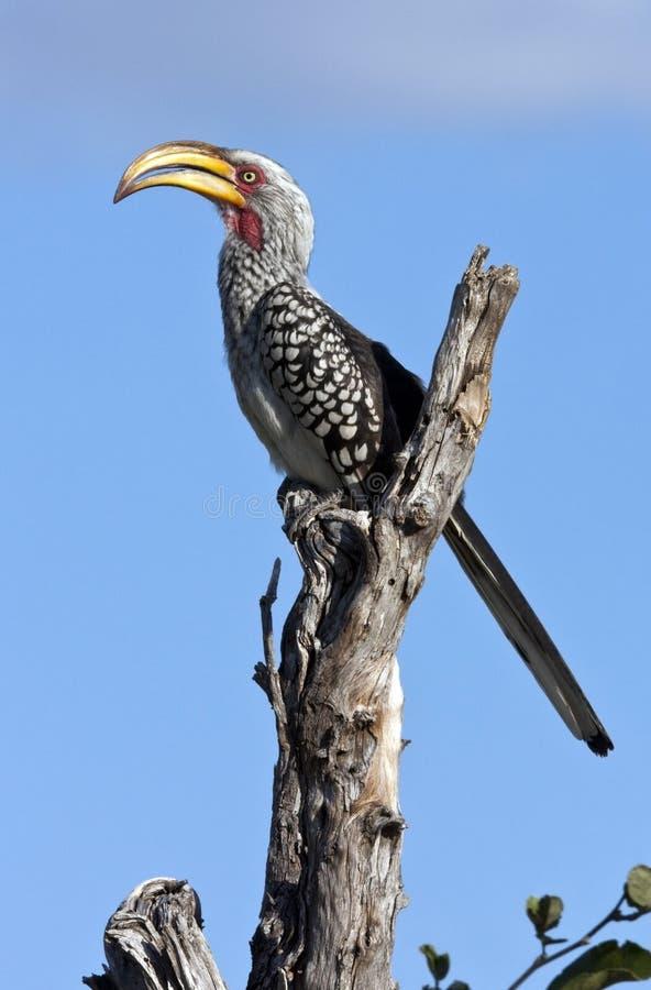 Hornbill de Yellowbilled - Botswana imagem de stock