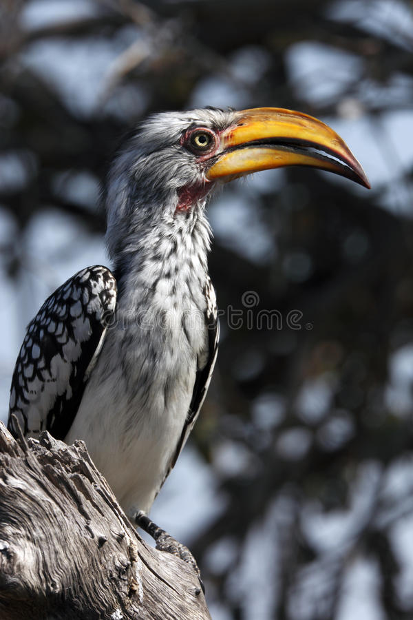 Hornbill de Yellowbilled - Botswana imagens de stock royalty free