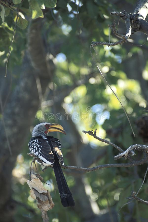 Hornbill de Yellowbilled, flavirostris de Tockus fotografia de stock