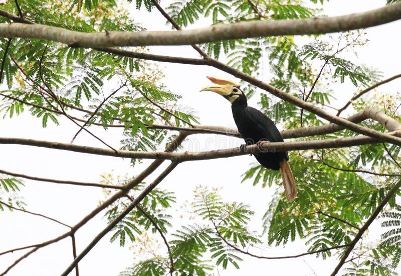 Hornbill di Palawan fotografia stock