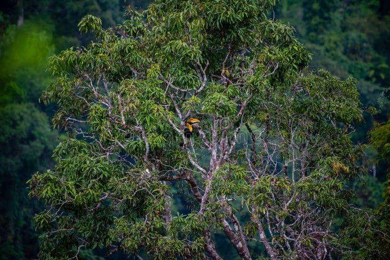 Hornbill en bosque fotografía de archivo libre de regalías
