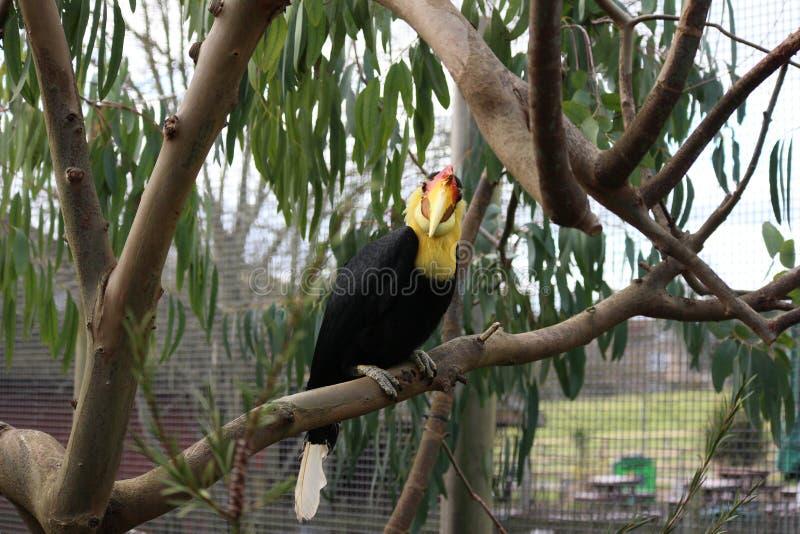 Hornbill enrugado que senta-se em um ramo fotografia de stock