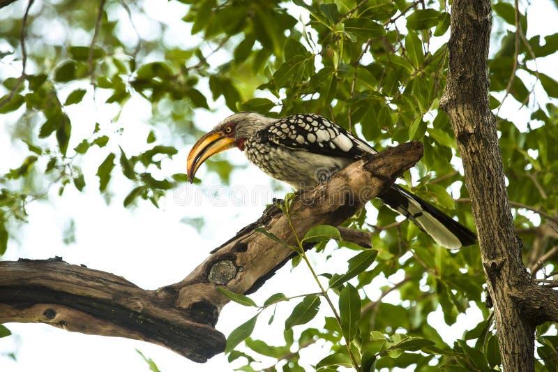 Hornbill faturado amarelo fotos de stock royalty free
