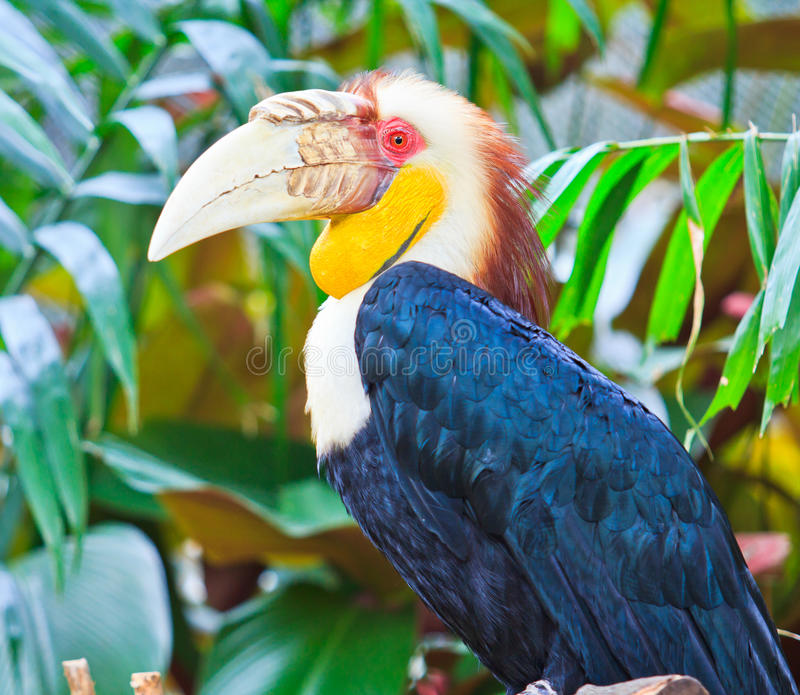 Hornbill. In the forest which are monogamous breeders royalty free stock image