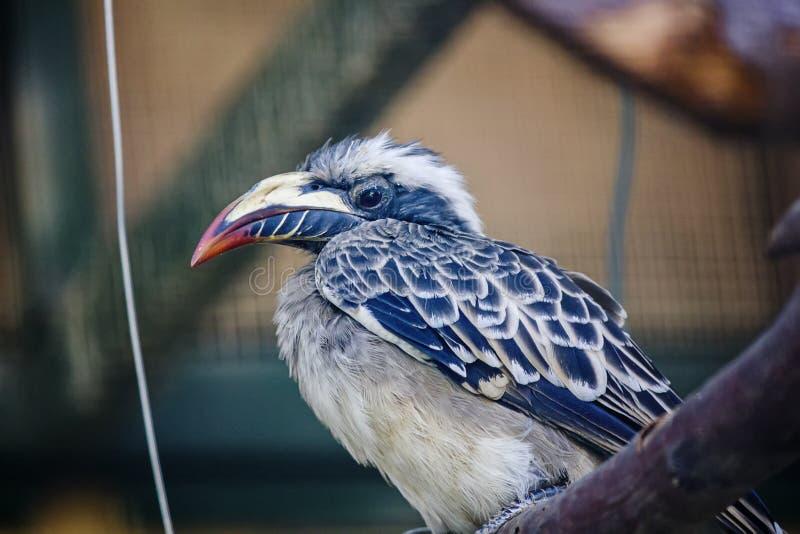 Hornbill grigio fotografie stock