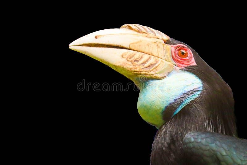 Hornbill isolado no fundo preto imagens de stock