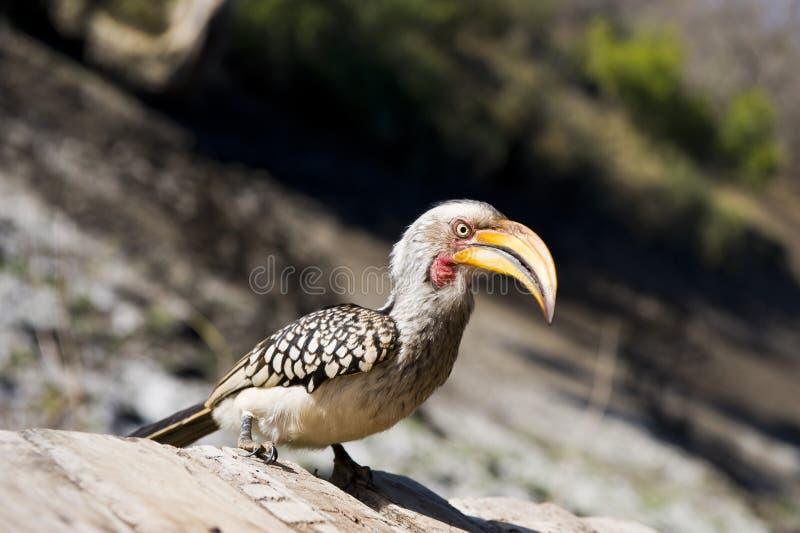 Hornbill Jaune-affiché méridional images stock
