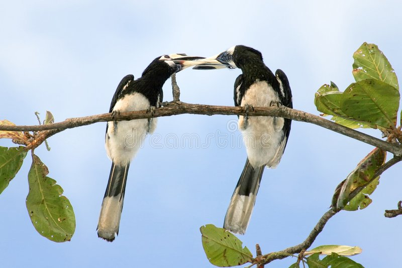 Hornbill kisses royalty free stock image