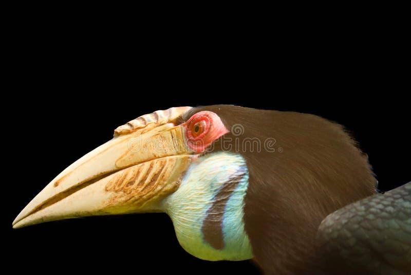 Hornbill lokalisiert auf schwarzem Hintergrund lizenzfreies stockbild