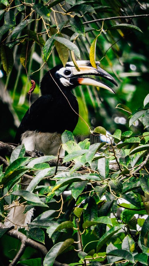 Hornbill. The oriental pied hornbill or Anthracoceros albirostris is an Indo-Malayan pied hornbill, a large canopy-dwelling bird belonging to the Bucerotidae royalty free stock image