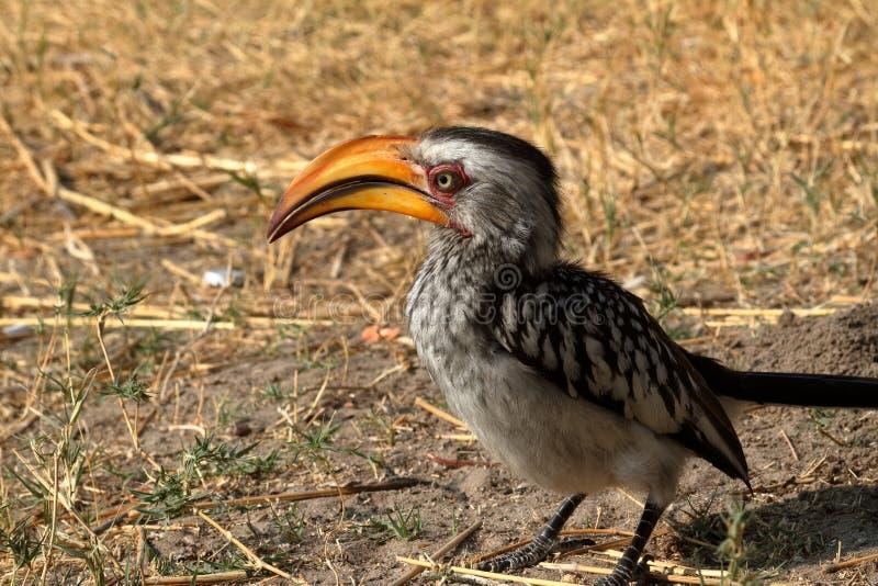 Hornbill ou Hornbill yellowbilled no savana foto de stock