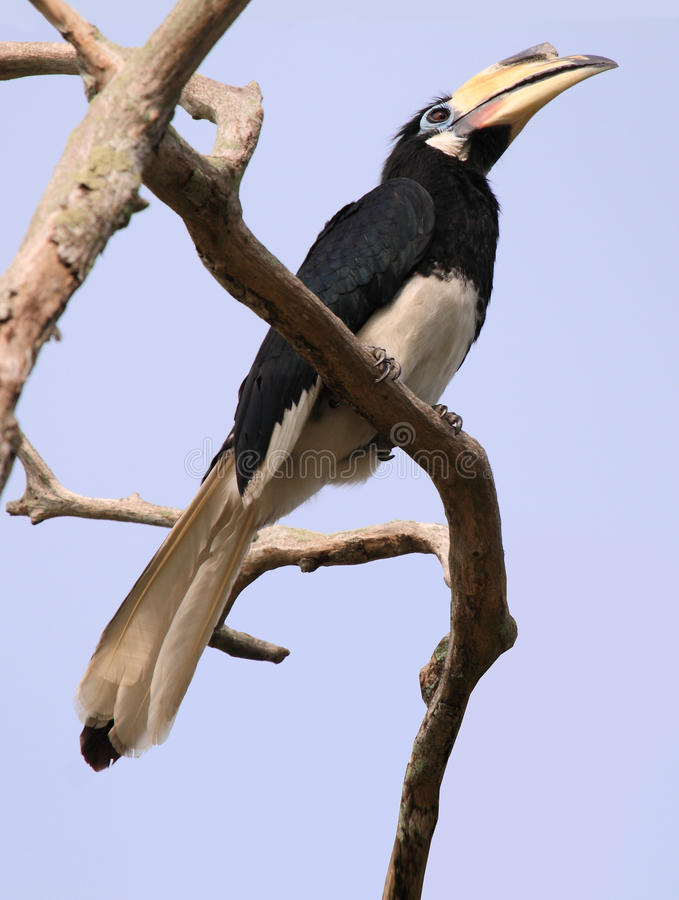 Hornbill on the Pangkor island (Malaysia). The hornbills (Bucerotidae) are a family of bird found in tropical and subtropical Africa, Asia and Melanesia. They stock image