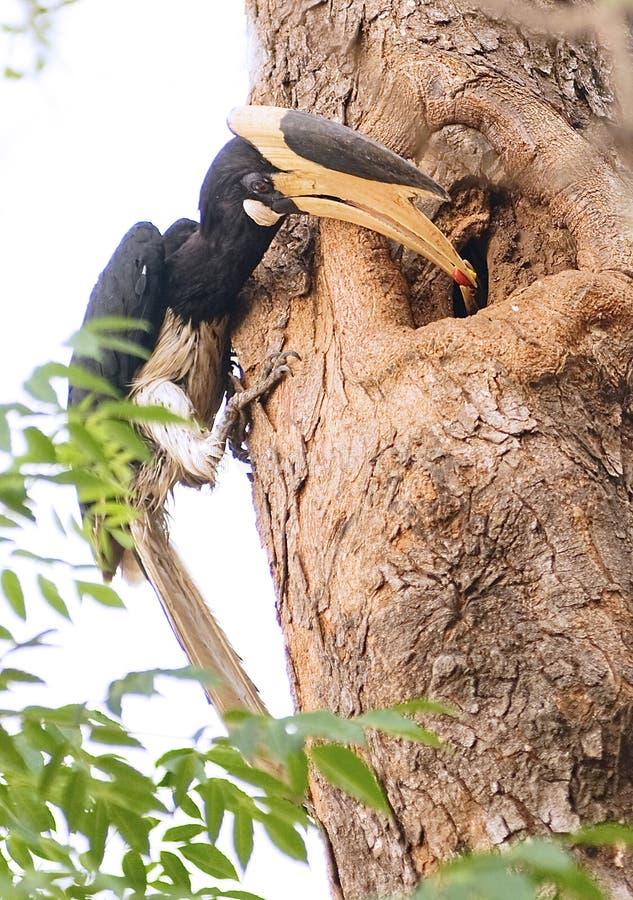 Hornbill pezzato di Malabar
