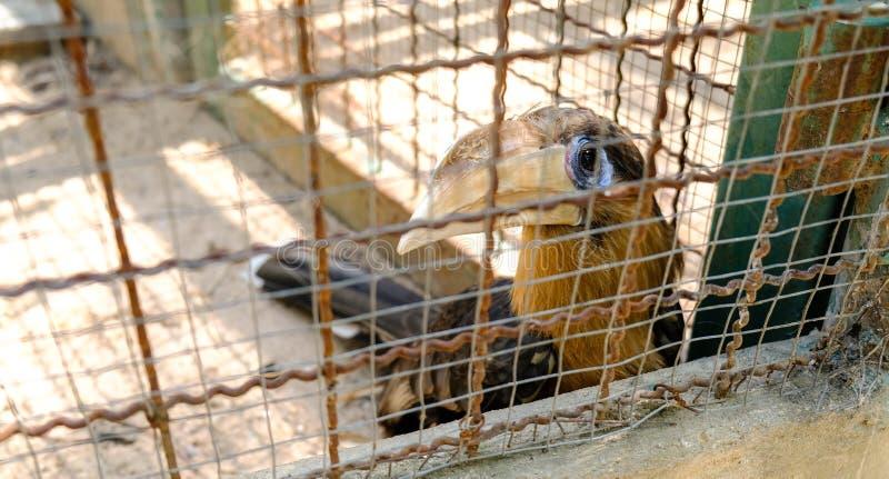 Hornbill Pied oriental da cara do foco seletivo em uma gaiola imagem de stock royalty free