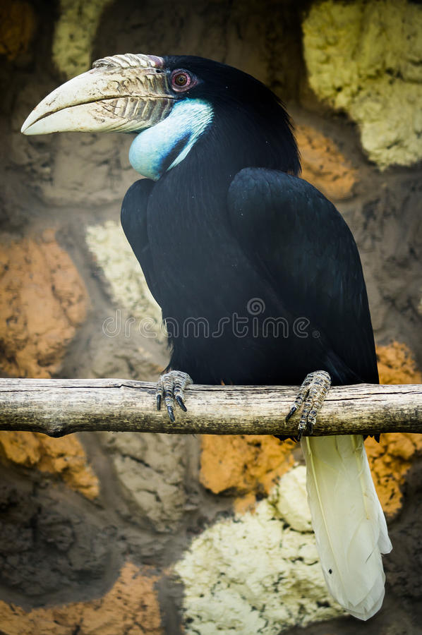 Hornbill in Russian zoo. Hornbills (lat. Bucerotidae) — the family of coraciiformes. Includes 57 species, found in Africa and Southeast Asia, the royalty free stock image