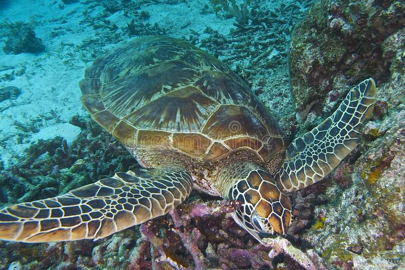 Green Sea Turtle off Balicasag Island, Panglao, Bohol, Philippines stock image