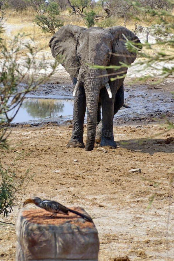 Hornbill y elefantes amarillo-cargados en cuenta meridionales fotografía de archivo libre de regalías