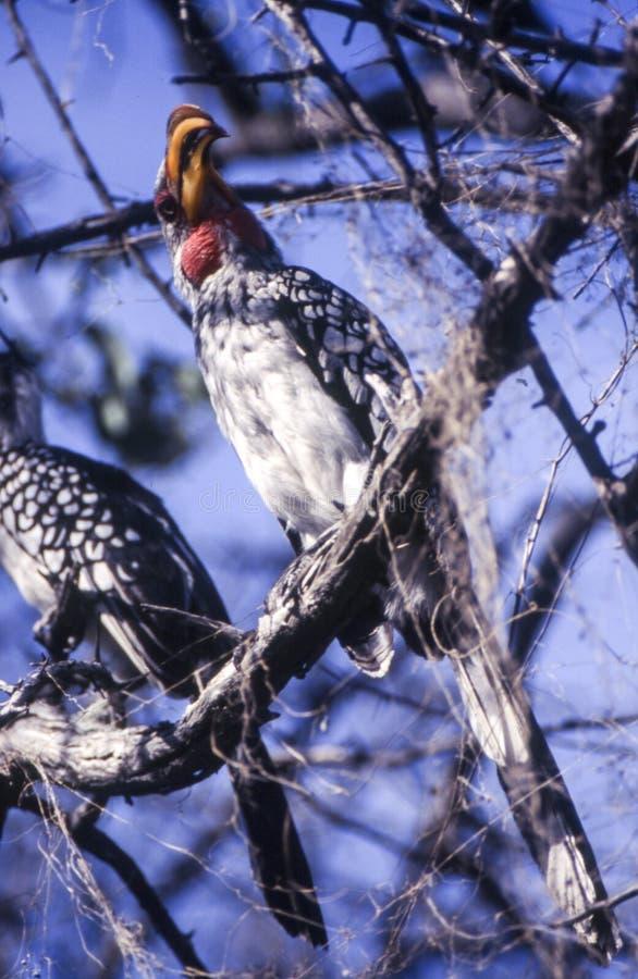 Hornbill yellowbilled do sul; leucomelas do tockus fotografia de stock