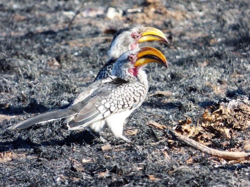 Hornbills royalty-vrije stock foto's