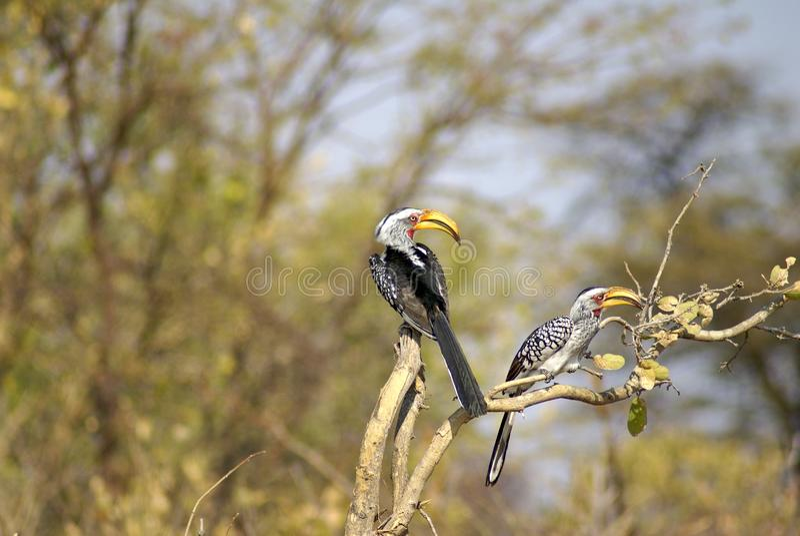 Hornbills amarillo-cargados en cuenta meridionales en un árbol imagenes de archivo