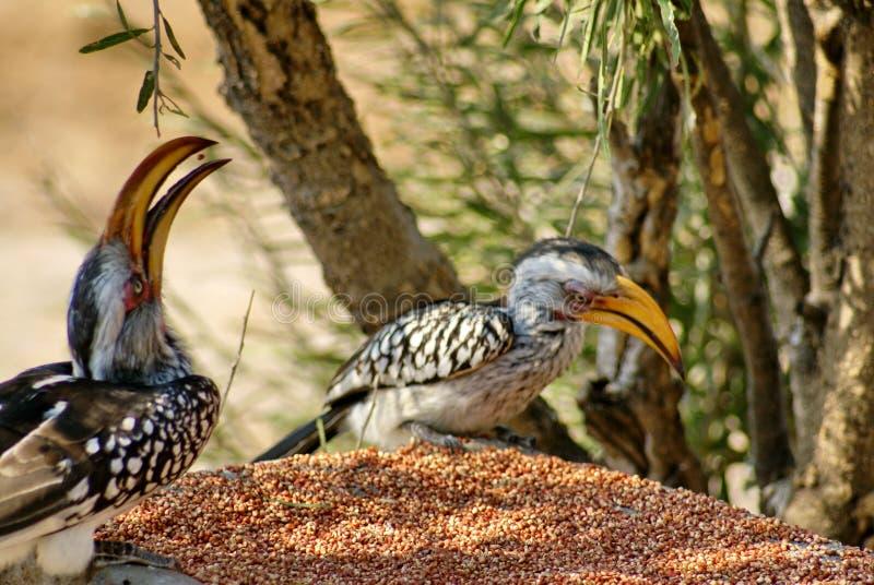 Hornbills amarillo-cargados en cuenta meridionales en un alimentador imágenes de archivo libres de regalías