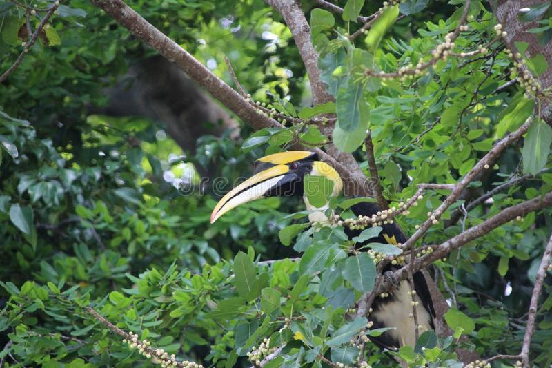 A wild hornbill Bucerotidae sitting in the tree on Pulau Pangkor, Malaysia. The hornbills Bucerotidae are a family of bird found in tropical and subtropical stock image