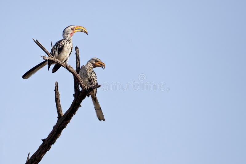 Hornbills faturados amarelo 1 fotografia de stock
