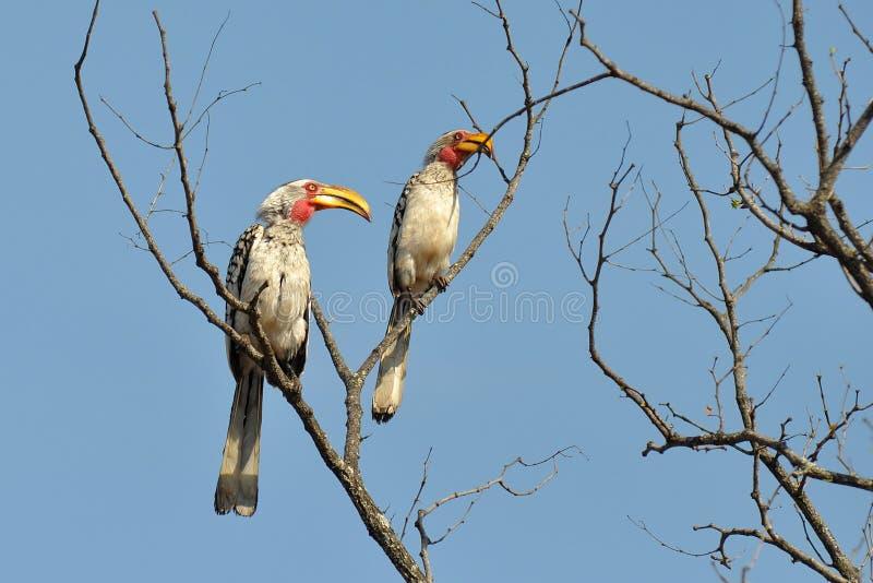 Hornbills giallo-fatturati del sud in Kruger NP fotografia stock libera da diritti