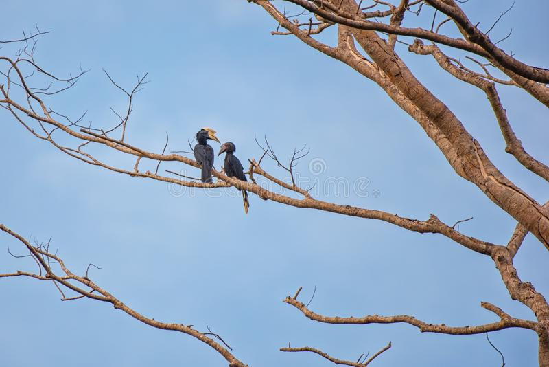 Hornbills in their typical environment royalty free stock photography