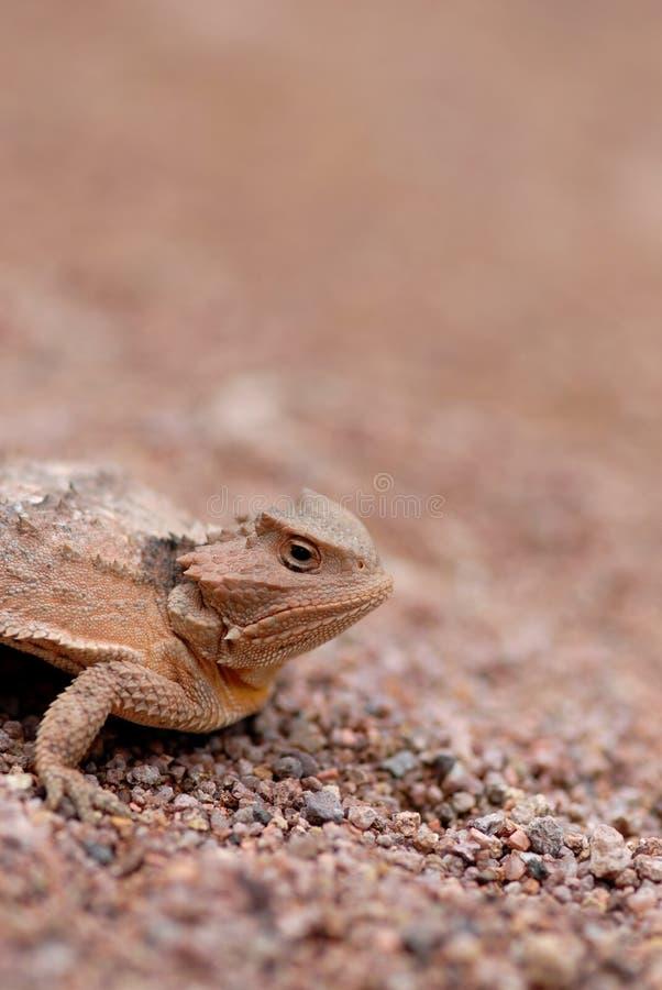 Horned ящерица стоковое фото
