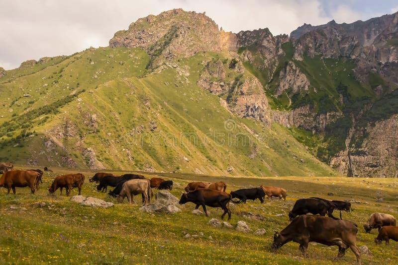Horned коровы молока пася на наклоне покрытом с wildflowers с пиками более низких совещаний за ими стоковая фотография