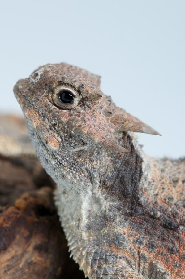 horned ящерица стоковые изображения rf