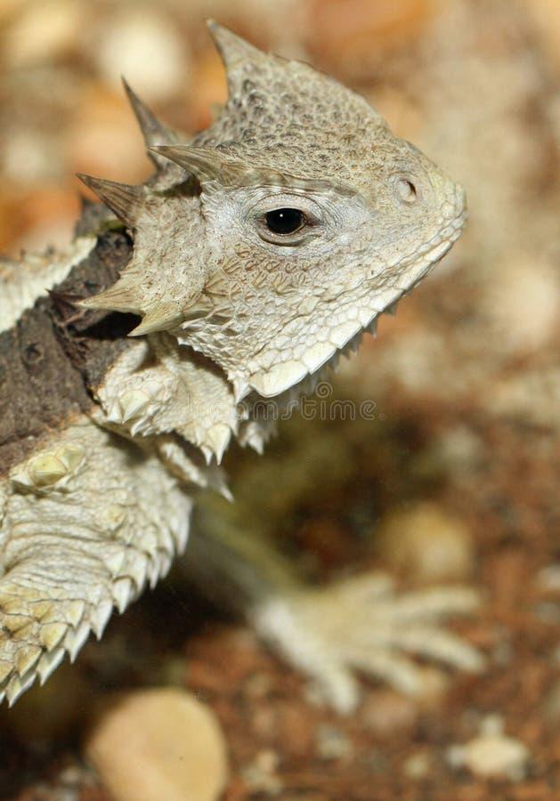 horned ящерица стоковое изображение
