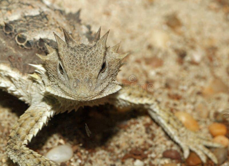 horned ящерица стоковые фото
