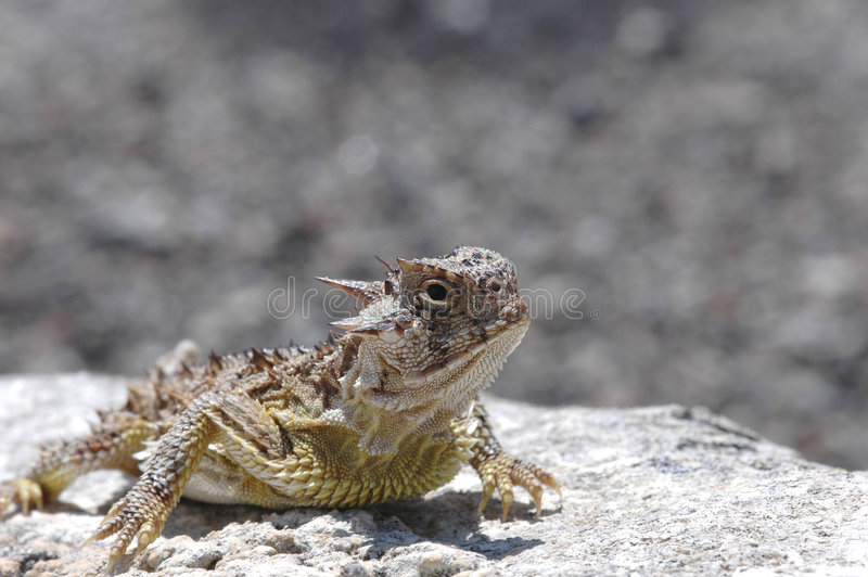 horned ящерица стоковые фотографии rf