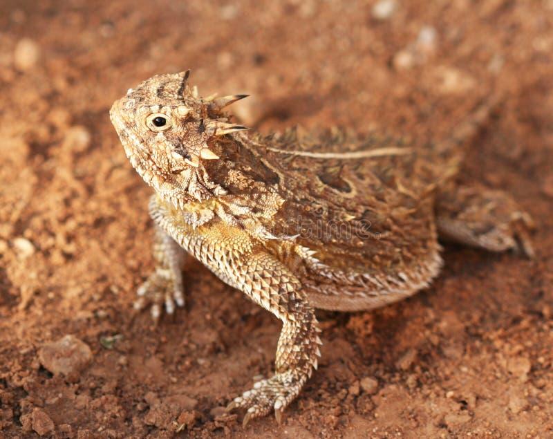 horned ящерица texas стоковое изображение