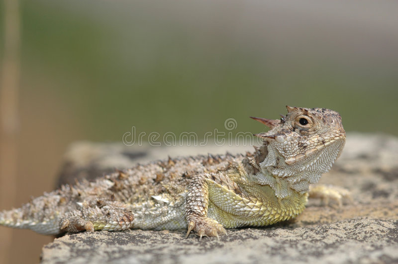 horned ящерица texas стоковое изображение rf