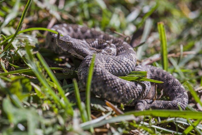 Horned adder in grass stock images