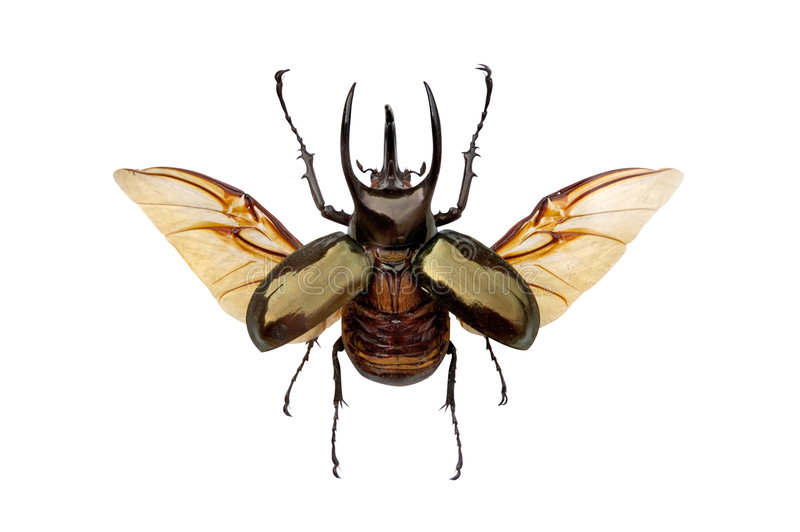 Horned beetle stock photography