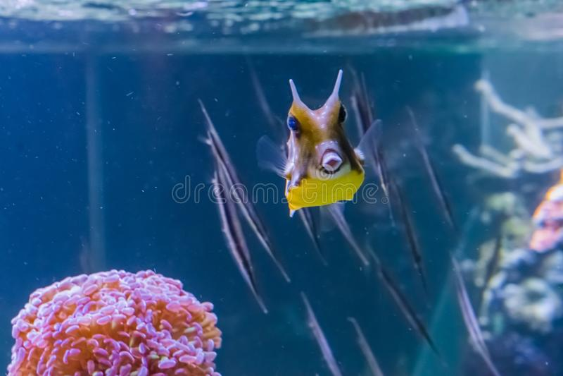 Horned boxfish- eller longhorncowfishsimning i ett tropiskt akvarium med fiskar på bakgrunden och framställning av en kyss med he royaltyfri bild