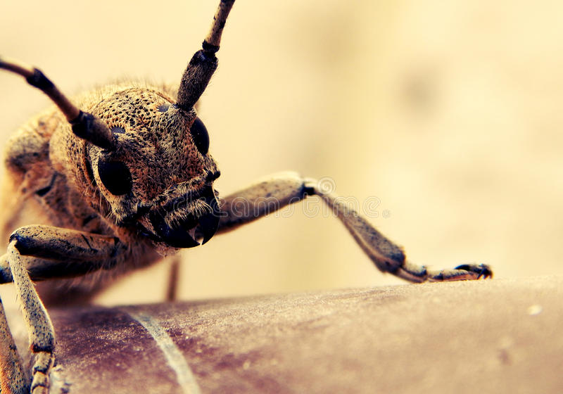 Horned Bug stock images