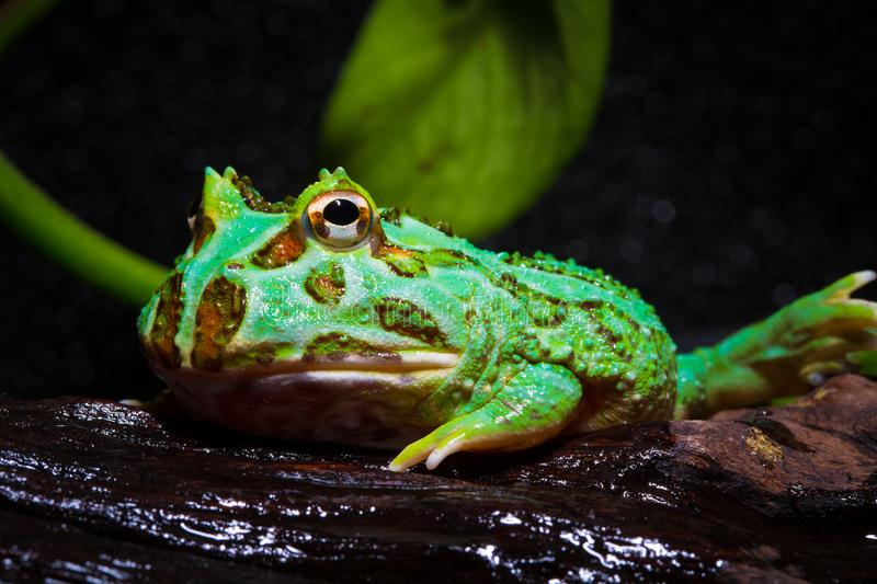 Horned frog. The world`s most popular pet frog, has changed its name to the frog. There are at least six subspecies of the , the most common of which is the stock images