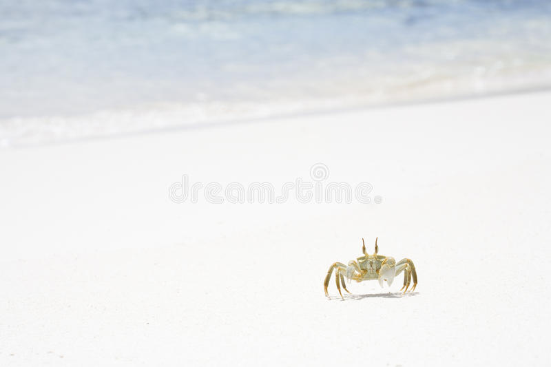 Download Horned Ghost Crab stock image. Image of arthropoda, sand - 14777611