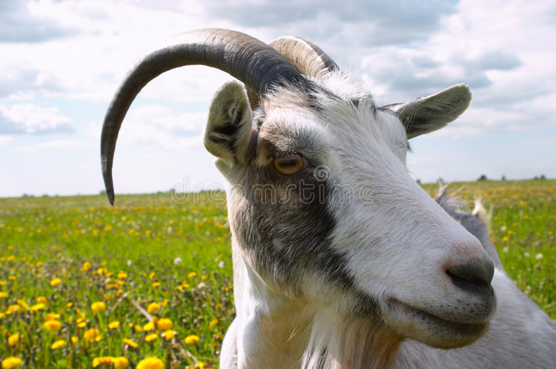 Horned goat stock photography
