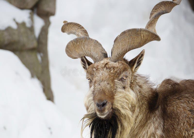 Horned goat or markhor stock image