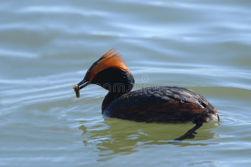 Horned Grebe with prey. Horned Grebe with caddisfly larvae, close-up stock photography