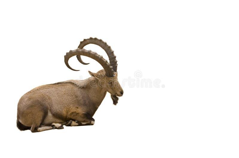 Horned Ibex för Scimitar arkivfoto